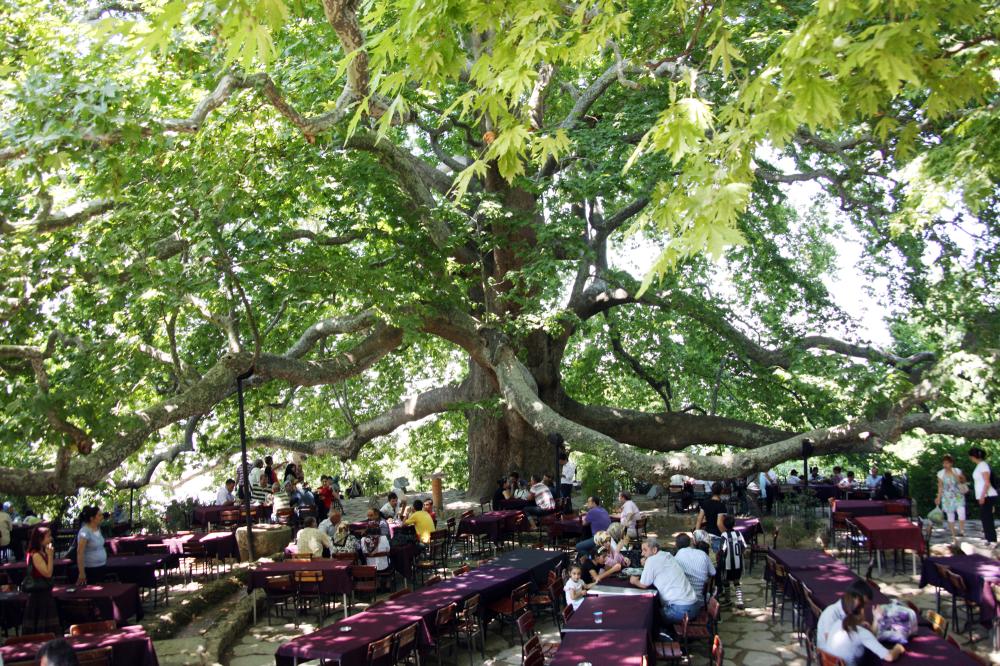 السياحة في بورصة - الشجرة التاريخية الكبيرة