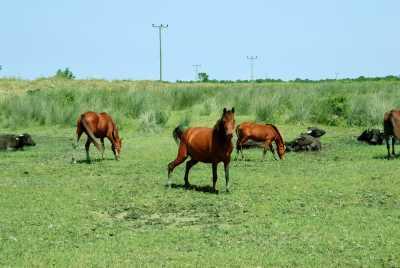 Delta'da yılkı atları (Fotoğraf: Samsun İl Kültür ve Turizm Müdürlüğü arşivi)